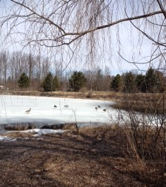 The geese have arrived, the ice remains.